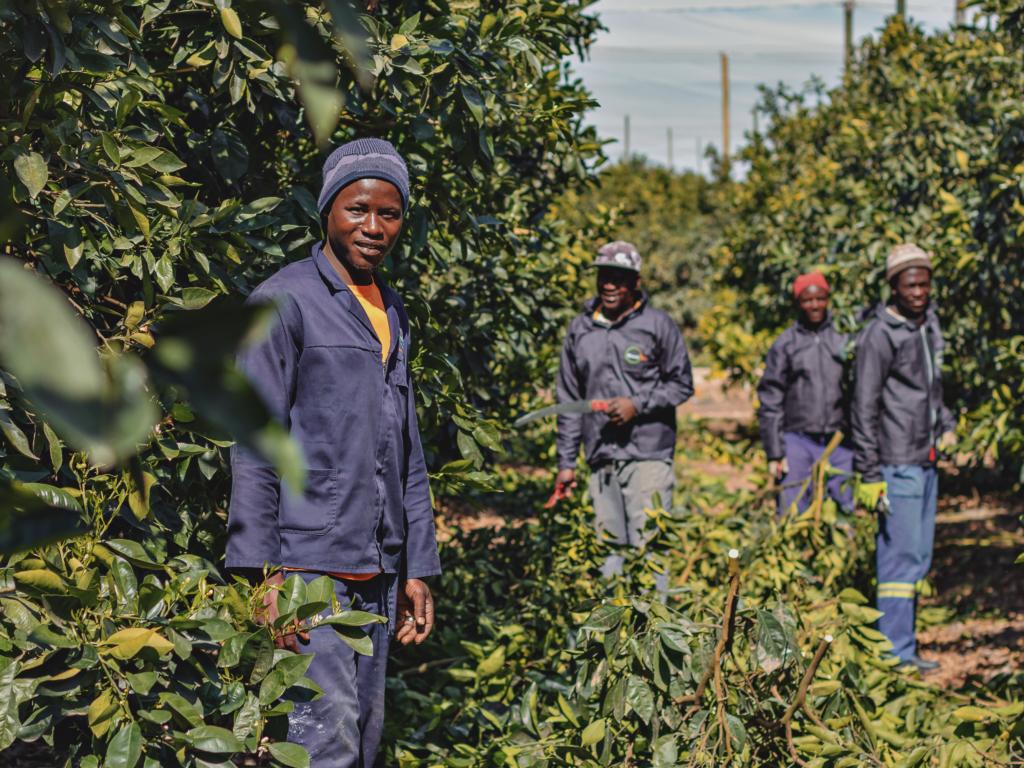 Ncedisa's Skilled Citrus Pruners Boost Fruit Yield